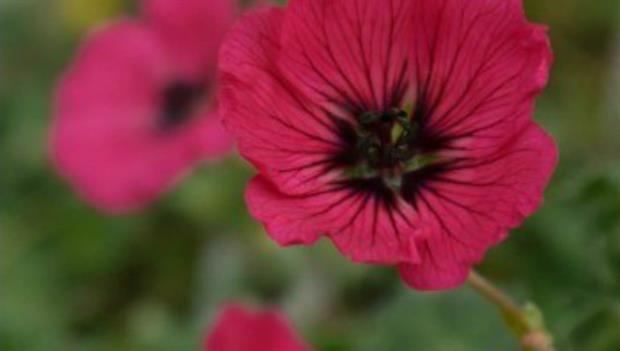 Geranium x cinereum 'Melody' (PBR)
