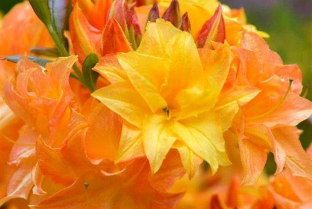 Rhododendron 'Sun Star'
