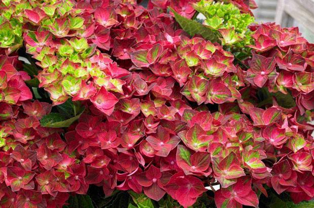 Hydrangea Magical Four Seasons 'Ruby Tuesday' - Wyevale Nurseries