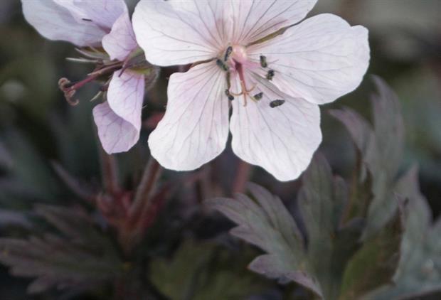 Geranium 'Purple Ghost' - Wyevale Nurseries