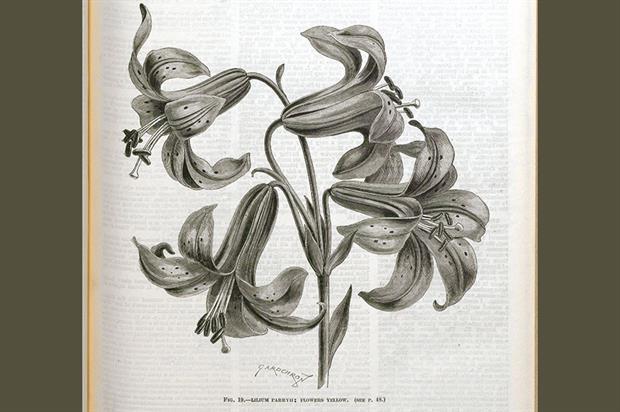 Lilium parryh: this species produces yellow flowers
