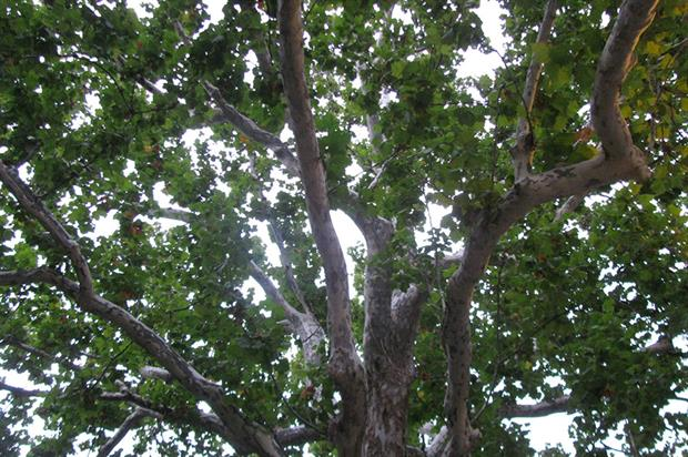 Healthy London plane tree - image: Flickr/EdenJanineandJim under Creative Commons Licence