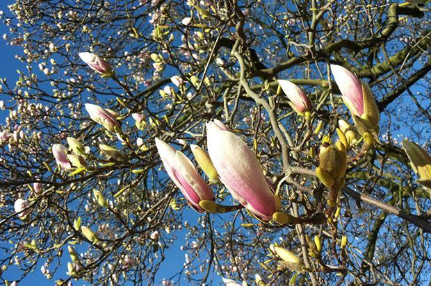 Magnolia - image: Pixabay