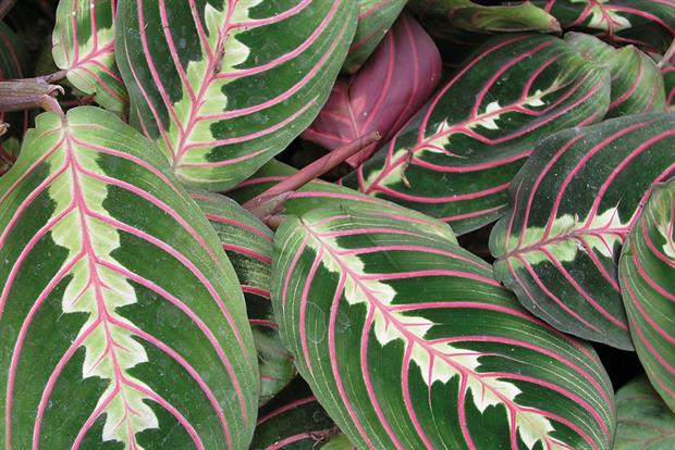 M. leuconeura Fascinator - image: Floramedia