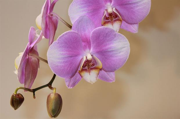 Orchid - image: Pixabay
