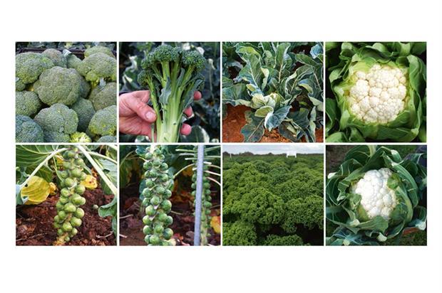 Vegetable seed trials (clockwise from top left): Titanium broccoli (Seminis), BGS0201 broccoli (Hazera), Liria cauliflower (Elsoms), Jericho cauliflower (Sakata), Dogmatis white cauliflower (Rick Xwaan), Reflex kale (Elsoms), Brodie Brussels sprouts