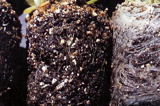 Black root rot - affected and unaffected - image: Dove Associates