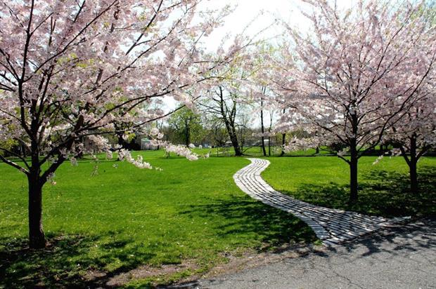 Prunus in park. Image: MorgueFile