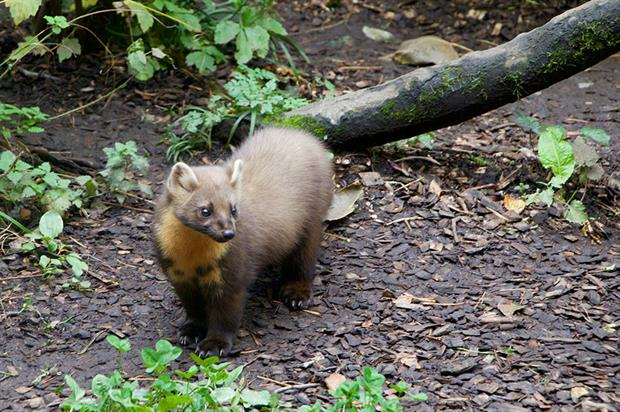 Pine marten: can help control numbers of grey squirrels - image: Pixabay