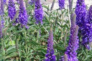 Compass Plants will show a new variety Veronica Baby Blue at Plantarium -photo: Compass Plants