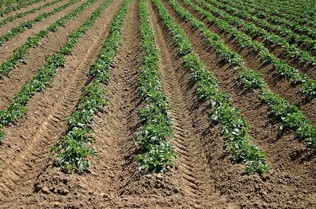 Potato crops - image: Pixabay