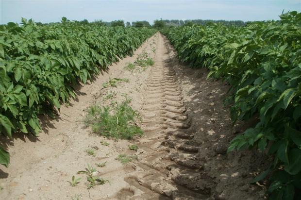 Potato crops. Image: Pixabay