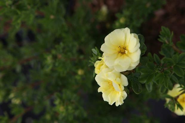 Potentilla Lemon Meringue