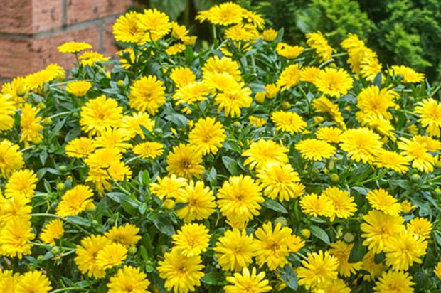 PowerDaisy (Calendula x hybrida) - image: Kientzler Young Plants