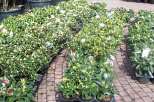 Rhoddodendrons - hardy nursery stock