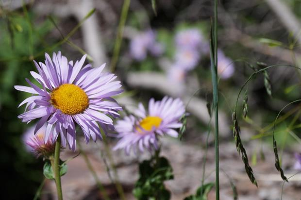 Erigeron growing in the Rocky Mountains. Image: MorgueFile