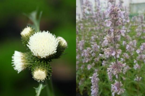 Cirsium rivulare 'Frosted Magic' and Nepeta x faassenii 'Crystal Cloud. Images: Supplied
