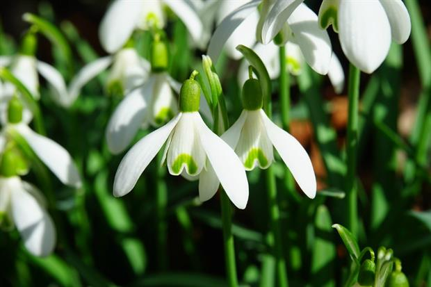 Snowdrops emerging early this year. Image: Pixabay