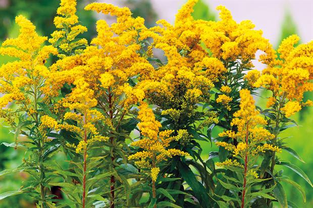 S. 'Goldkind' - image: Floramedia