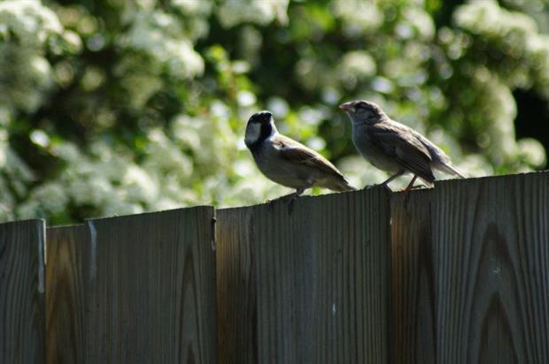 Sparrow. Image: MorgueFile