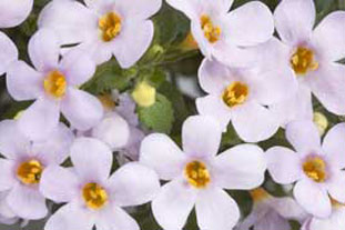 (Sutera) Bacopa Scopia Gulliver Lavender - photo: Graham Clarke