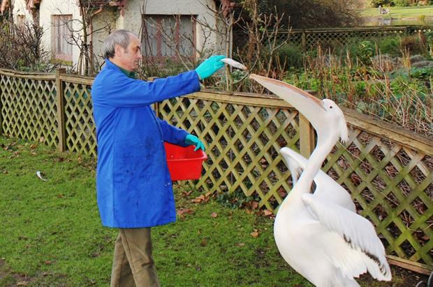 Wildlife officer Malcolm Kerr feeds the pelicans in St James's Park. Image: The Royal Parks