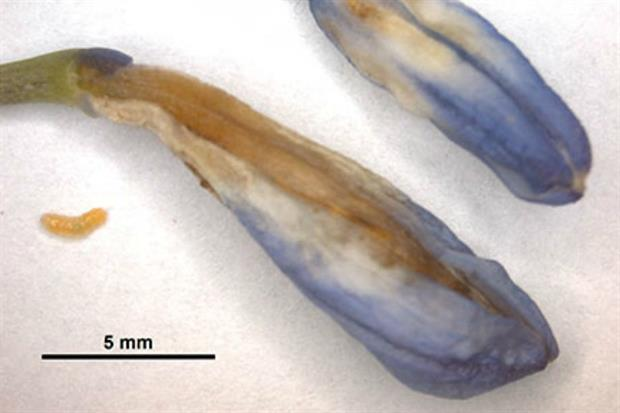 Affected buds with agapanthus gall midge larvae. Image: RHS