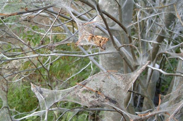 Ermine moth damage - image: Per Erik Strandberg