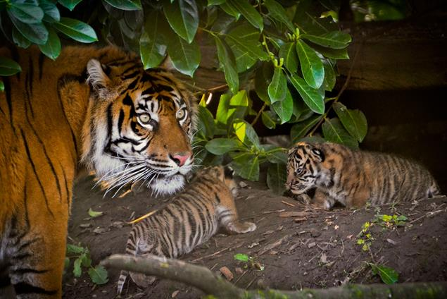 WWF launches agency brief to help save tigers
