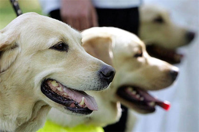 Guide Dogs: said the ad encouraged parents to consider sponsoring a puppy as a Christmas gift