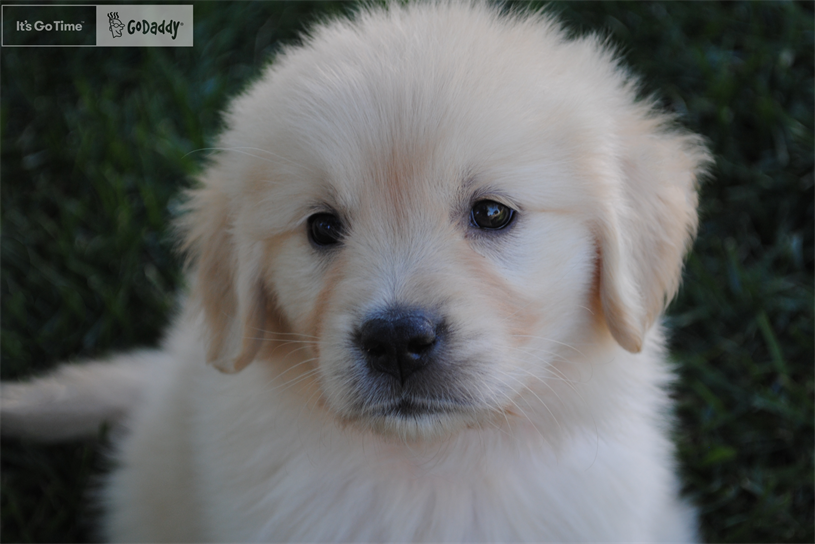 Puppy to star in GoDaddy Super Bowl campaign.