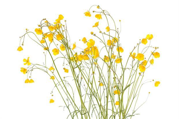 Corn buttercup. Photograph: Shutterstock