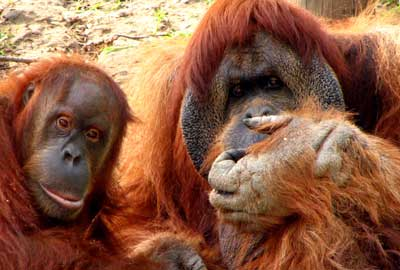 The charity provides homes for 24 orangutans