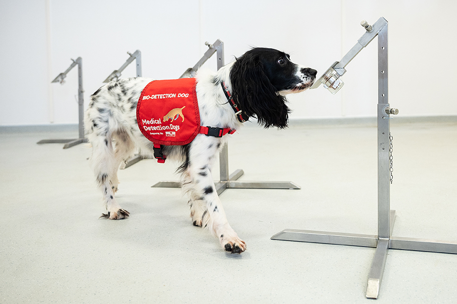 Medical detection dog being retrained to help identify Covid-19 (Photograph: Leon Neal/Getty Images)