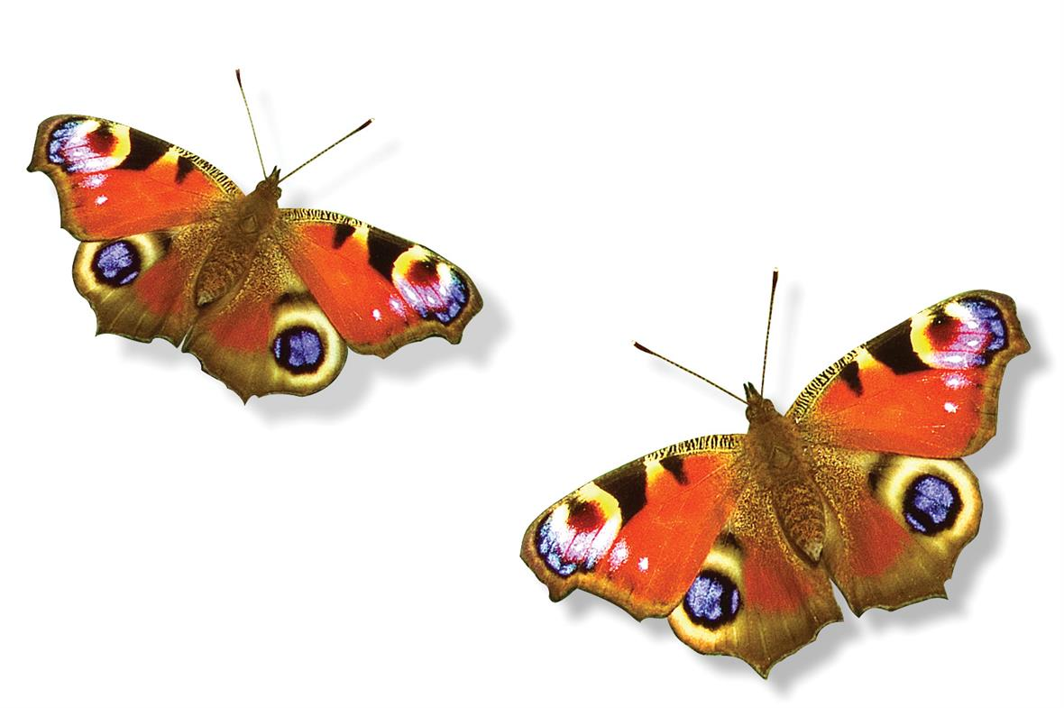 Peacock butterfly (Photograph: Getty Images)
