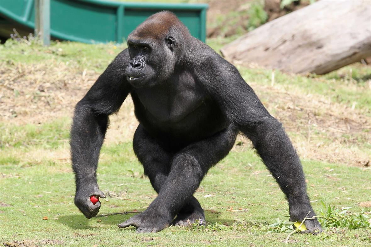 A gorilla at the Port Lympne reserve (Photograph: Chris Jackson/Getty Images)