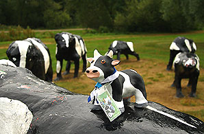 A bull scout