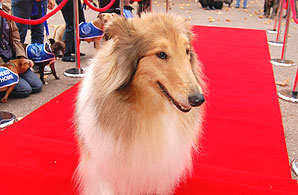 Lassie on the red carpet