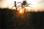 Case study: The incentive held in a cannabis field