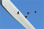 'Almost no birds die in collisions' with wind turbine blades, research finds