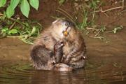 The benefits of letting beavers loose in England's rivers