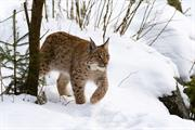 The missing lynx: Could Britain's wildcat be brought back home?
