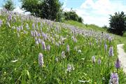 Necessary works: how a county council justified the destruction of 17,000 rare orchids