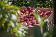 Furloughed workers start work as fruit pickers