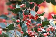 Cotoneaster franchetii soaks up 20% more air pollution than other shrubs, says RHS