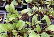 Peat-free veg plants plea