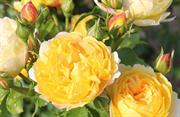Rose of the year 2021 announced
