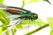 Emerald ash borer puts ash species on IUCN red list
