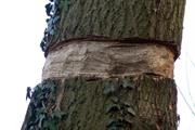 Council seeks dashcam footage of vandals who girdled roadside trees