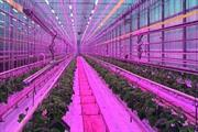 First cucumber planting completed at unique Essex LED-lit glasshouse